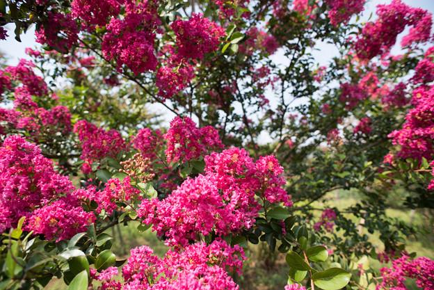 花菜ガーデン【赤色の百日紅】4