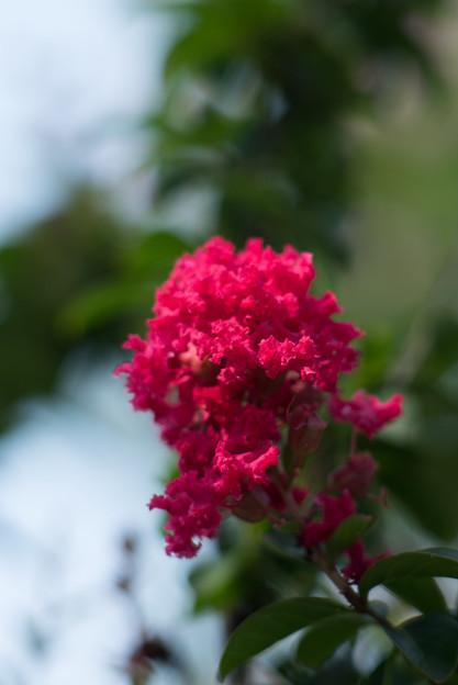 花菜ガーデン【赤色の百日紅】7
