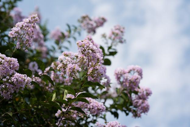 花菜ガーデン【紫色の百日紅】1