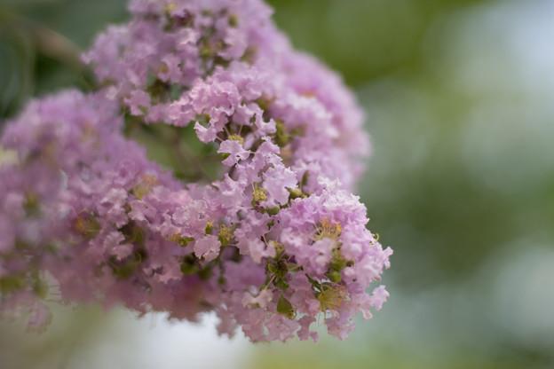 花菜ガーデン【紫色の百日紅】5