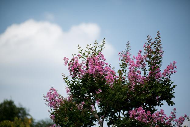 花菜ガーデン【ピンク色の百日紅】1
