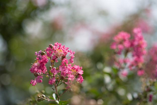 花菜ガーデン【ピンク色の百日紅】6