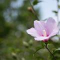 Photos: 花菜ガーデン【ムクゲ】3