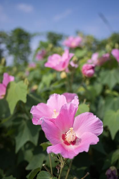 花菜ガーデン【ムクゲ】4