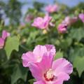 Photos: 花菜ガーデン【ムクゲ】4