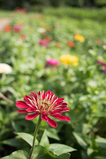 花菜ガーデン【日日草】2