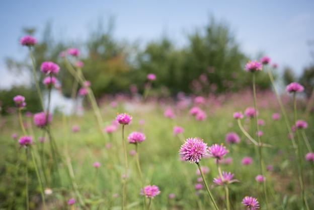 花菜ガーデン【千日紅】2