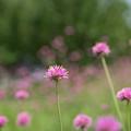 花菜ガーデン【千日紅】3