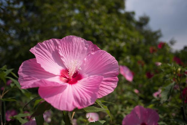 花菜ガーデン【タイタンビカス】8