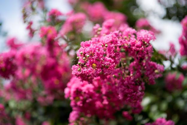 大船フラワーセンター【ピンク色のサルスベリ】2