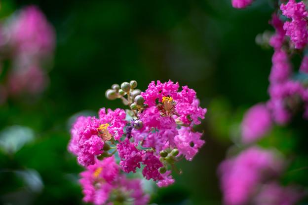 大船フラワーセンター【ピンク色のサルスベリ】5