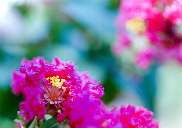 大船フラワーセンター【ピンク色のサルスベリ】6銀塩