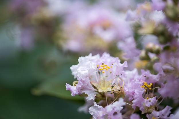 大船フラワーセンター【薄紫色のサルスベリ】6