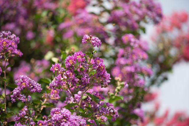 大船フラワーセンター【紫色のサルスベリ】1