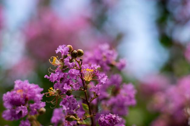 大船フラワーセンター【紫色のサルスベリ】3