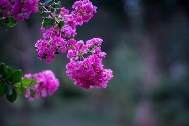 大船フラワーセンター【紫色のサルスベリ】5