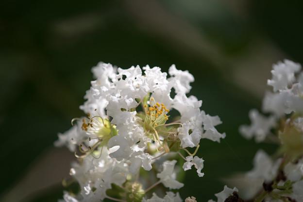 大船フラワーセンター【白色のサルスベリ】5