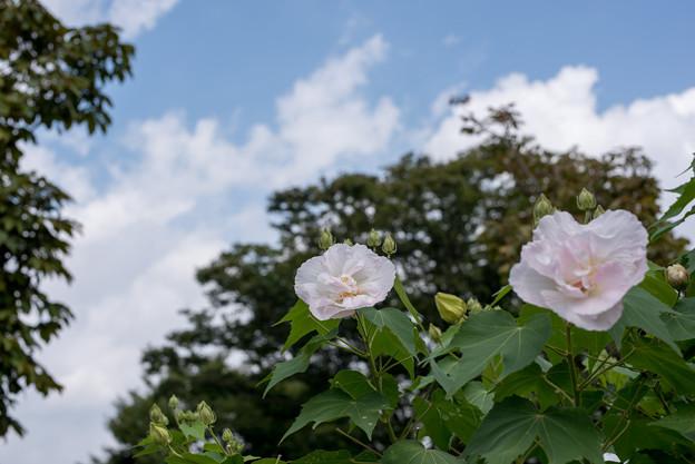 大船フラワーセンター【スイフヨウの花】3