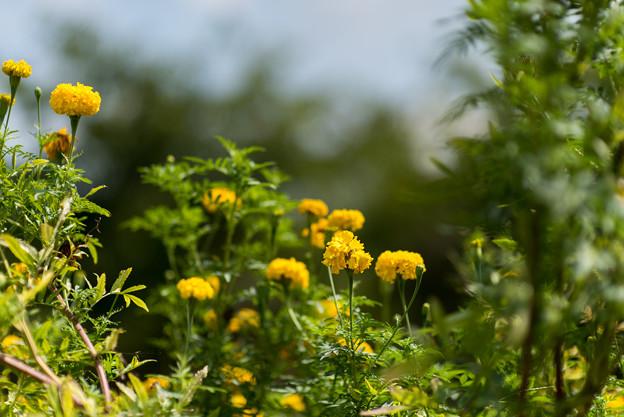 Photos: 大船フラワーセンター【マリーゴールドの花】