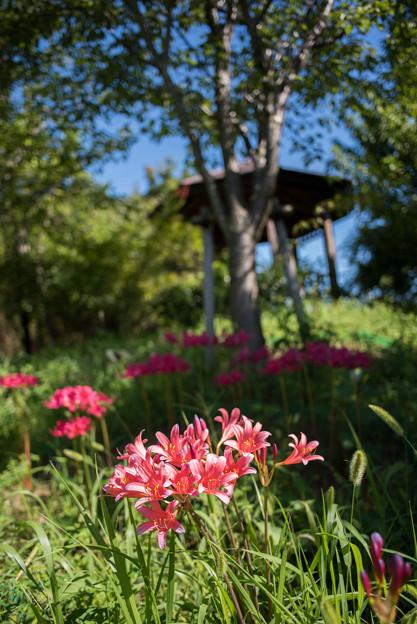 花菜ガーデン【リコリス】1