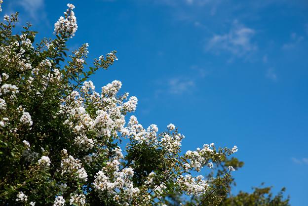花菜ガーデン【サルスベリ】3