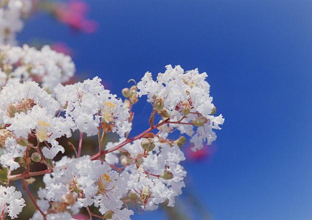 花菜ガーデン【サルスベリ】4銀塩