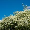 Photos: 花菜ガーデン【センニンソウ】1