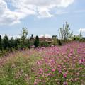 Photos: 花菜ガーデン【センニチコウ】