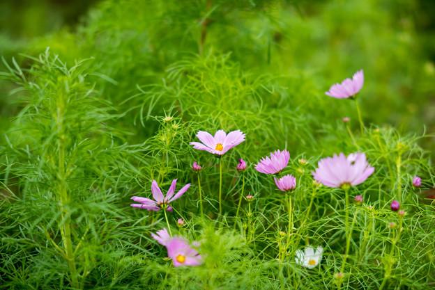 昭和記念公園【花の丘:コスモス】1