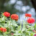 昭和記念公園【こもれびの里:ジニア】2