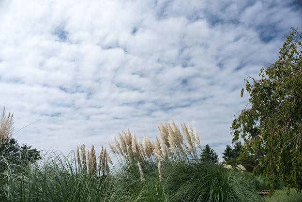 昭和記念公園【もみじ橋近くの丘:パンパスグラス】1