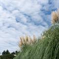 昭和記念公園【もみじ橋近くの丘:パンパスグラス】2
