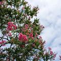 昭和記念公園【カナール北側斜面:サルスベリ】4