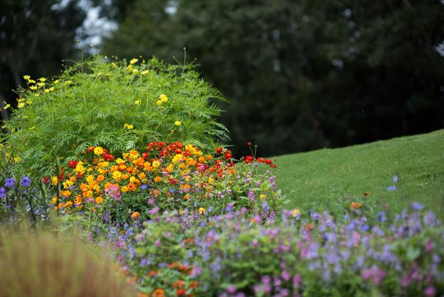 里山ガーデン【大花壇のキバナコスモス】1