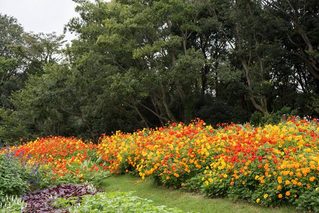 里山ガーデン【大花壇のキバナコスモス】2
