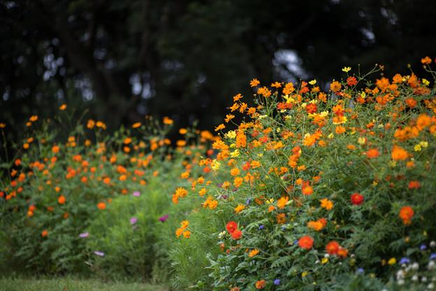 里山ガーデン【大花壇のキバナコスモス】3