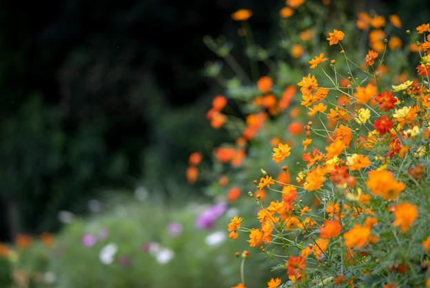 里山ガーデン【大花壇のキバナコスモス】4
