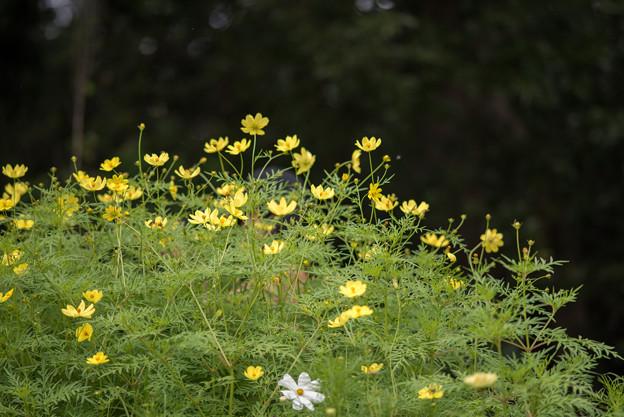 里山ガーデン【大花壇のキバナコスモス】5