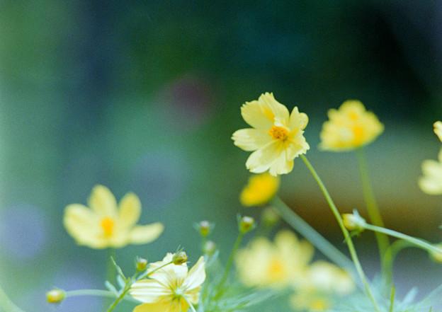 里山ガーデン【大花壇のキバナコスモス】6銀塩