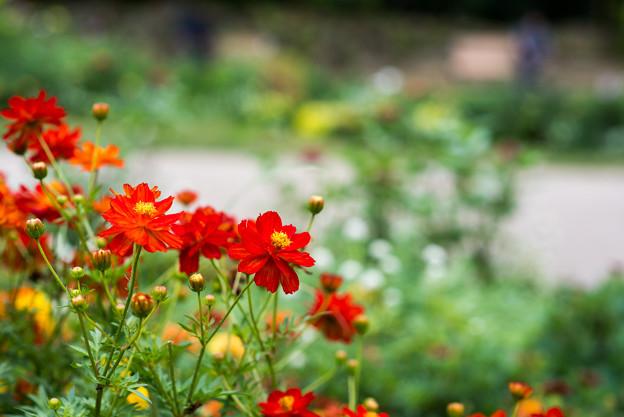 里山ガーデン【大花壇のキバナコスモス】7