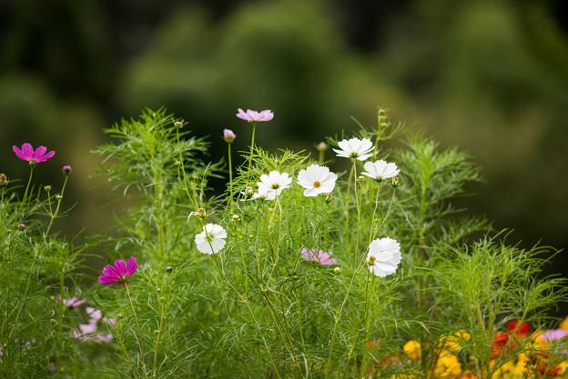 里山ガーデン【大花壇のコスモス】1