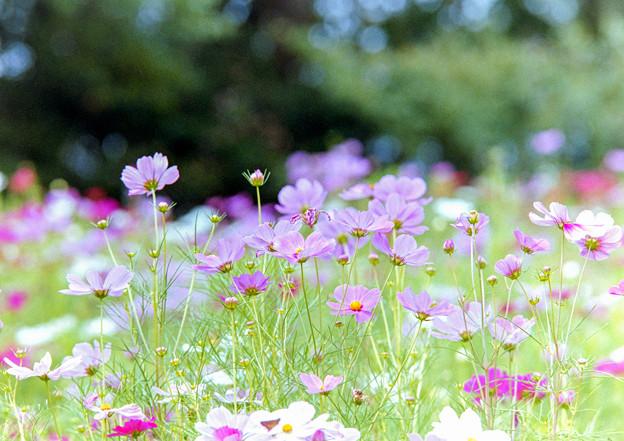 里山ガーデン【大花壇のコスモス】2銀塩