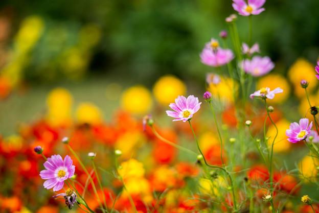 里山ガーデン【大花壇のコスモス】3