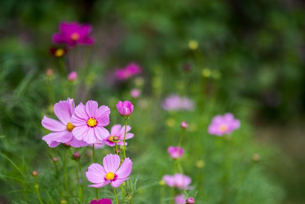 里山ガーデン【大花壇のコスモス】4