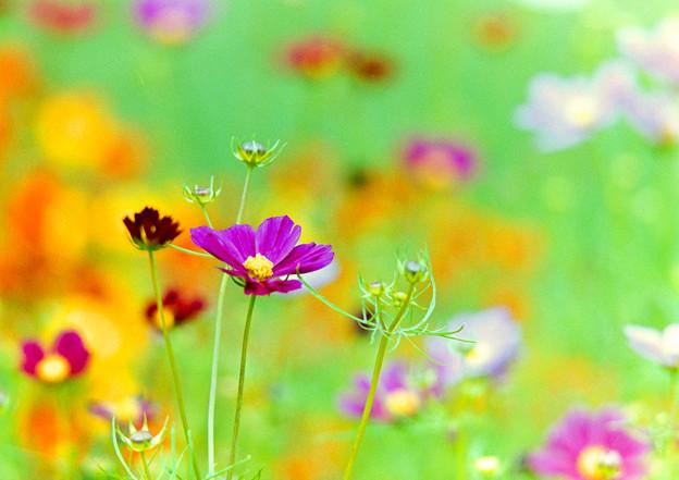 里山ガーデン【大花壇のコスモス】5銀塩