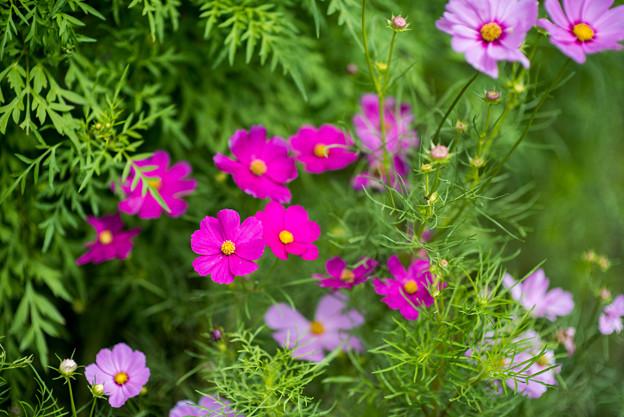 里山ガーデン【大花壇のコスモス】7