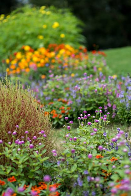 里山ガーデン【大花壇のセンニチコウ】1