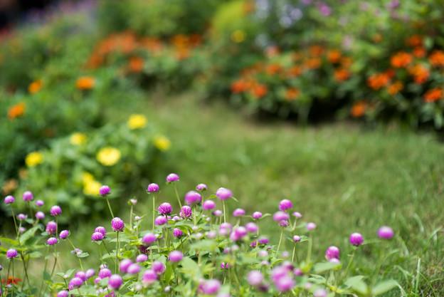 里山ガーデン【大花壇のセンニチコウ】2