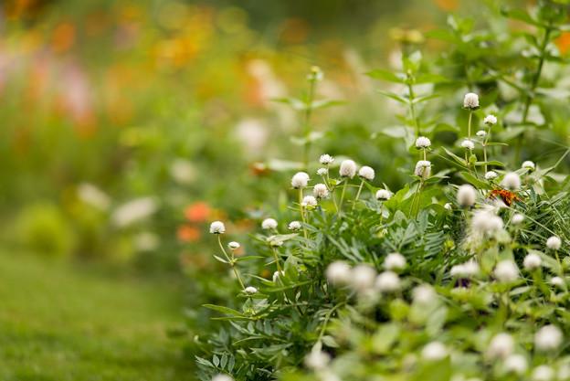 里山ガーデン【大花壇のセンニチコウ】3