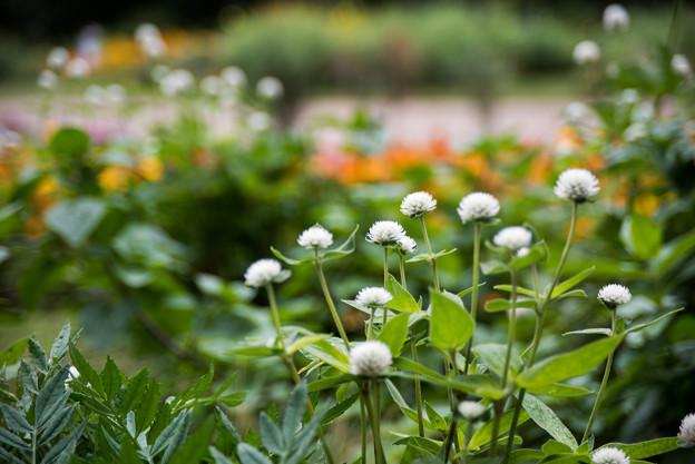 里山ガーデン【大花壇のセンニチコウ】4